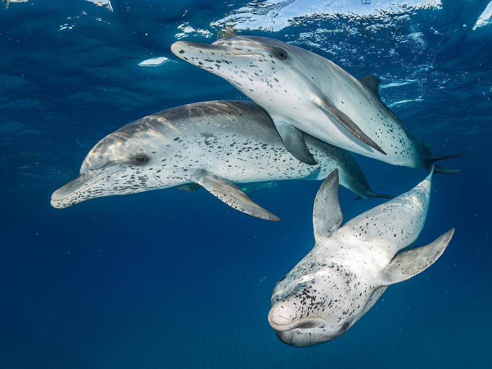 Дельфины в Бимини, Багамские острова