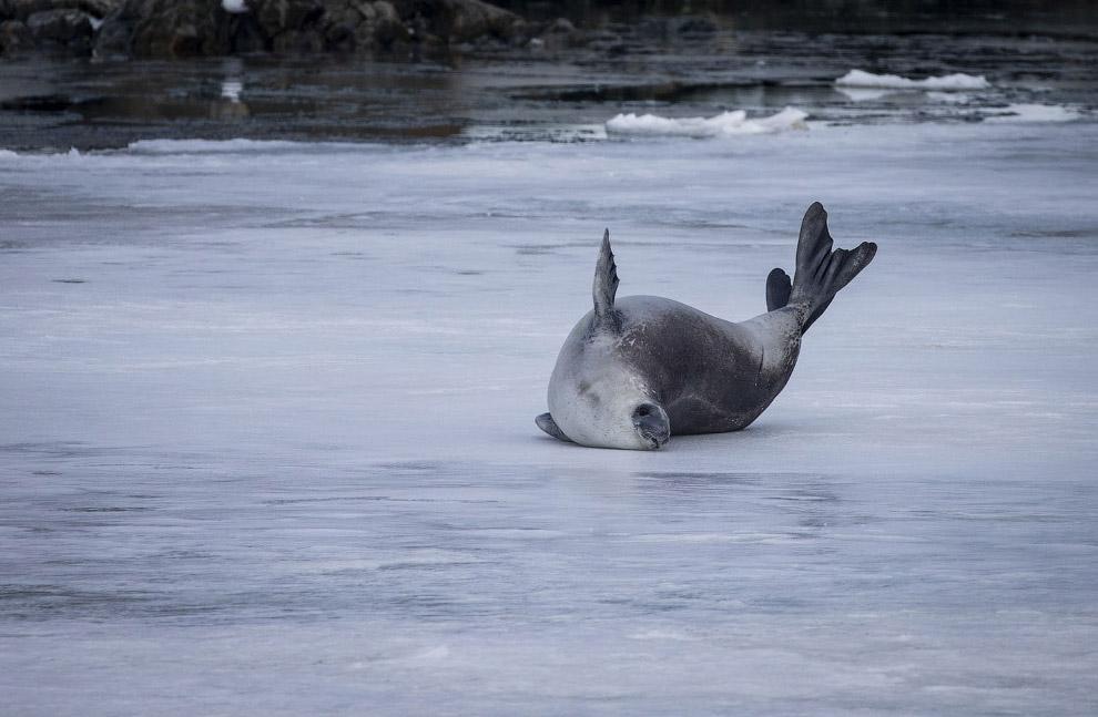 Тюленю-крабоеду здесь нравится