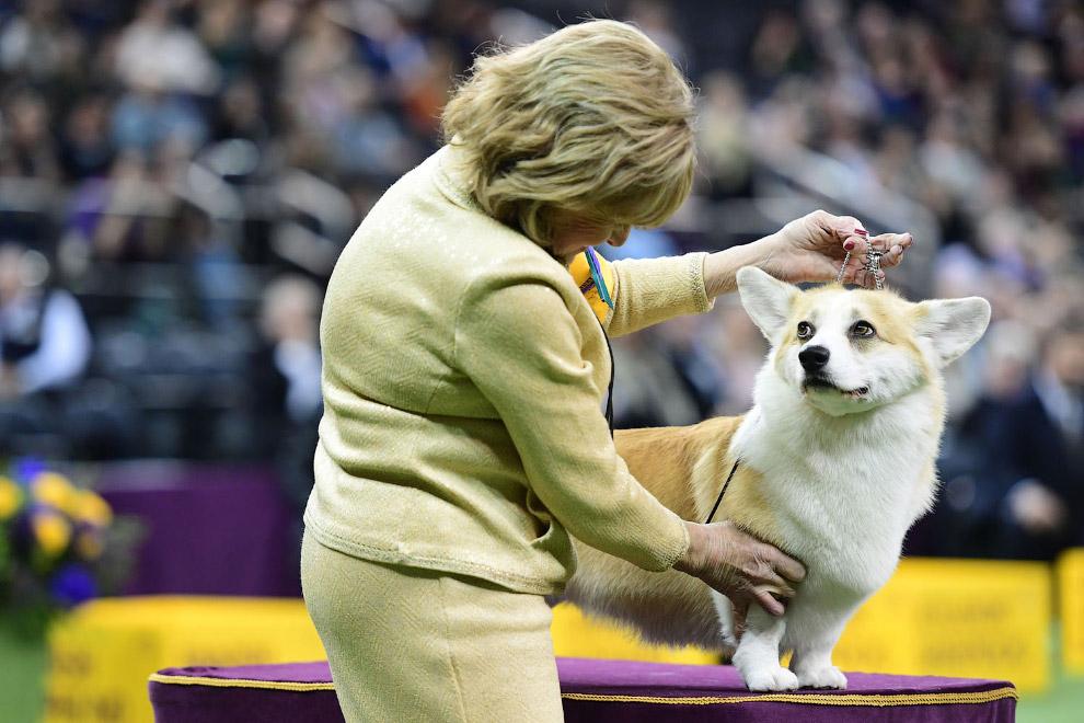 Вельш корги — порода собак, выведенная в Уэльсе