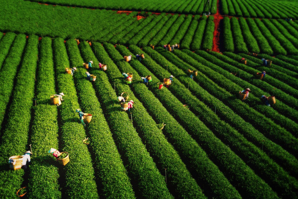 збір чаю