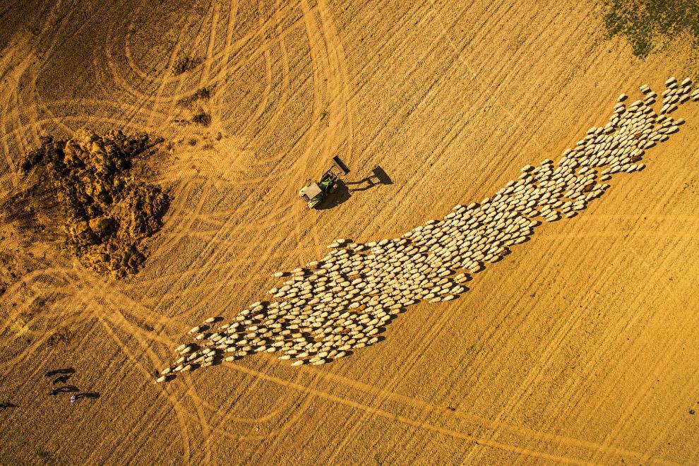 Стадо овець