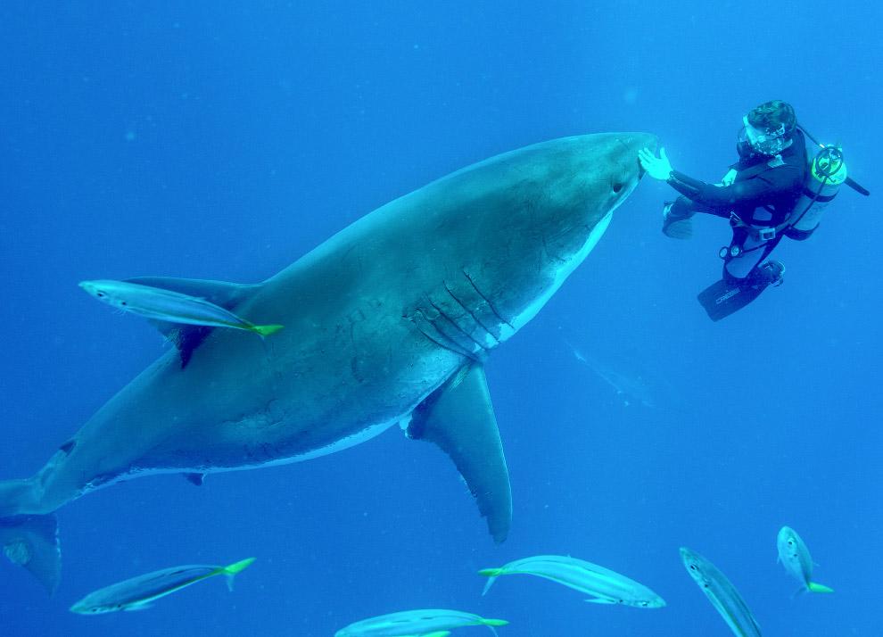 Заплыв с белой акулой в Гваделупе, Мексика
