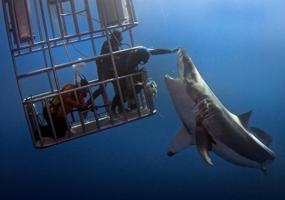 Погладь акулу