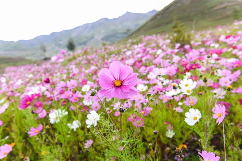 Цветущее поле в горном районе Даочэн