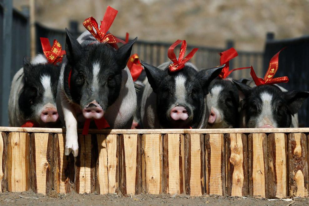 Бега свиней с препятствиями в провинции Хэбэй, Китай