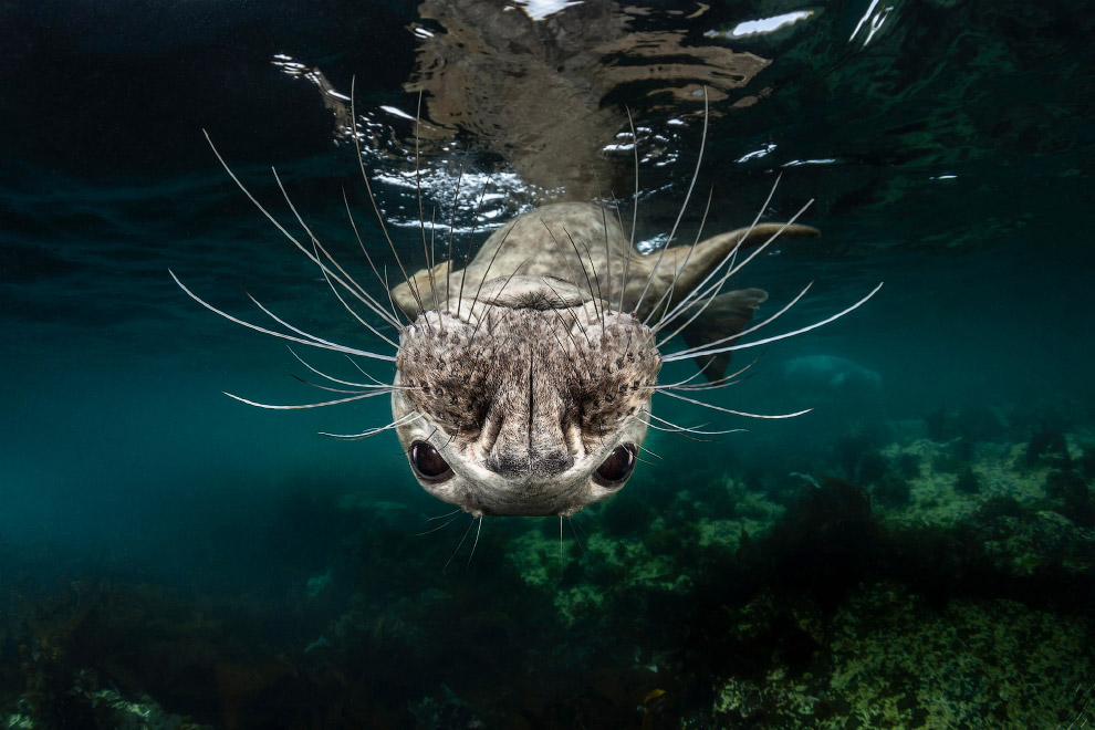 Любопытный тюлень с острова Фарн