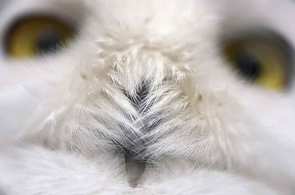 Белая сова крупным планом
