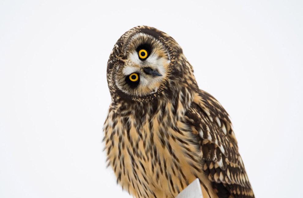 Любопытная болотная сова
