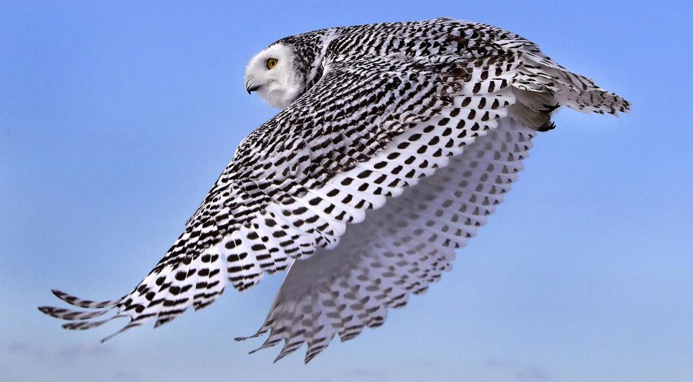 Прекрасное оперение белой совы