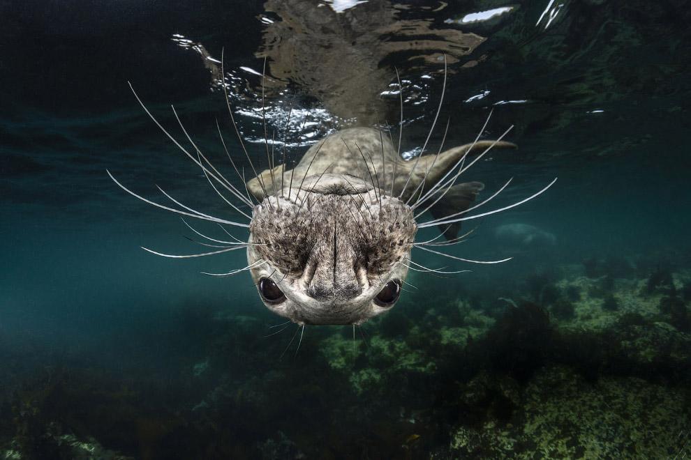 Любопытный серый тюлень