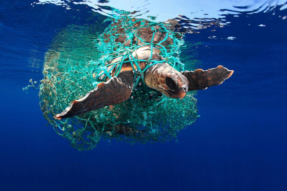 Головастая морская черепаха — вид морских черепах