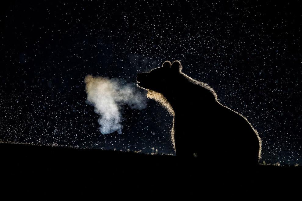 Медвежонок в туманной ночи, Румыния