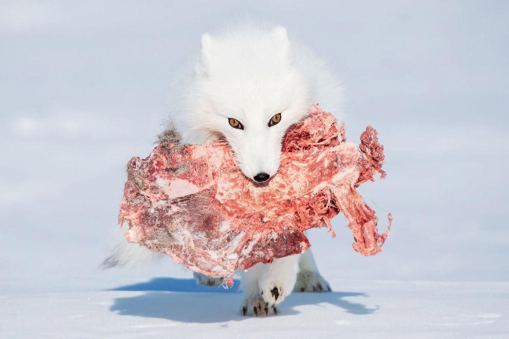 Голодный песец украл большой кусок у волков, Канада