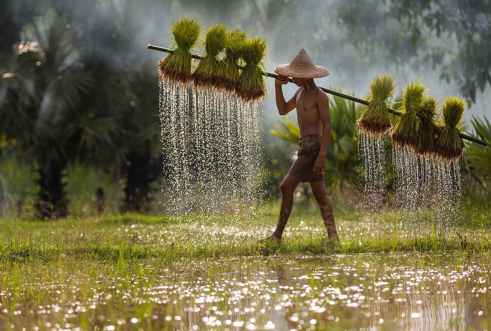 На рисовых полях в Таиланде