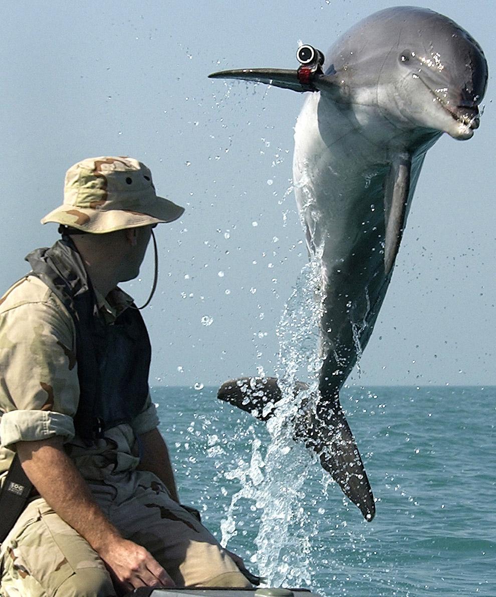 Это боевой дельфин программы U.S. Navy Marine Mammal Program по кличке KDog