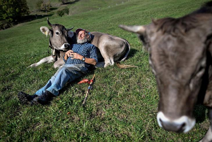 Осторожно, коровы