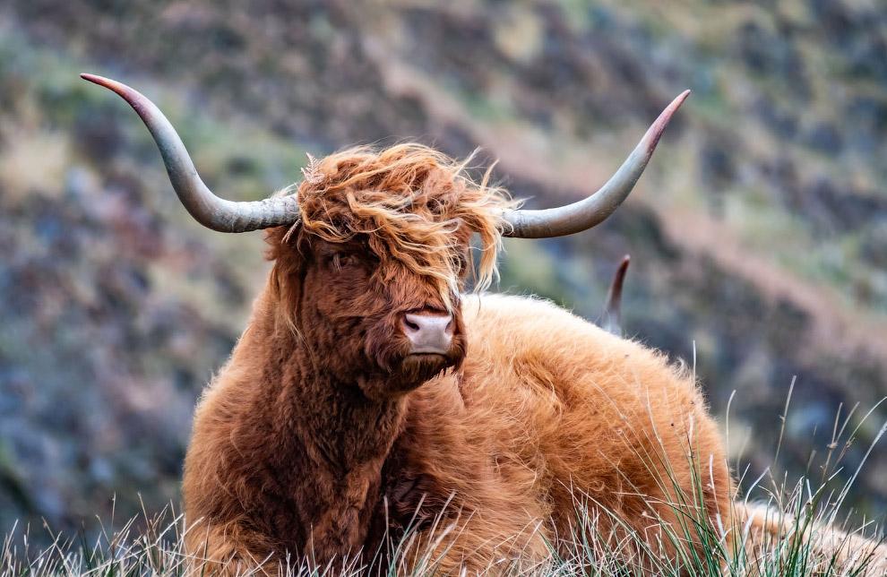 шотландской высокогорной коровой,