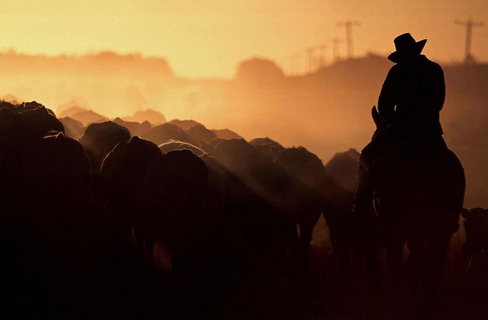 Предком домашних коров