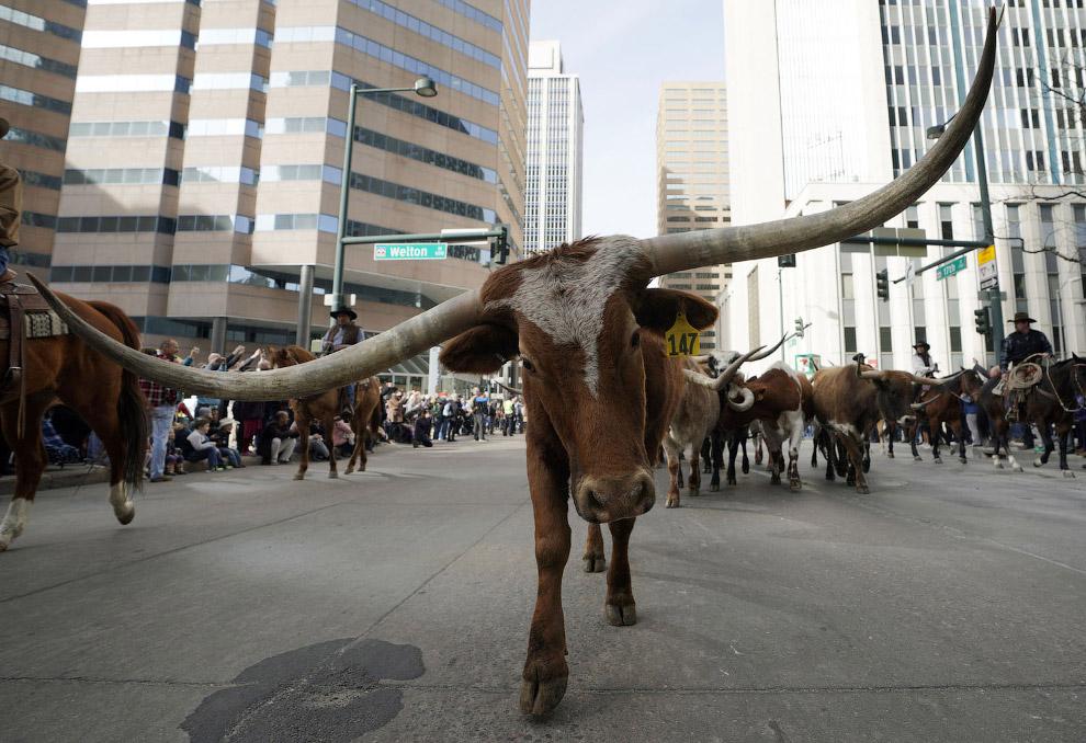 Марш ковбоев в штате Колорадо