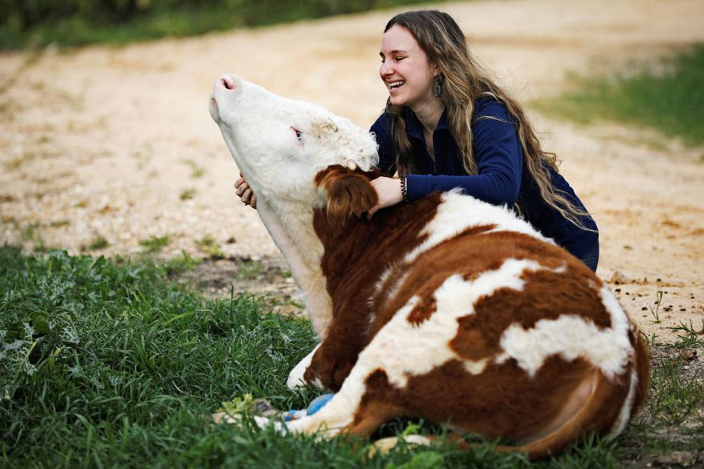 У этой коровы на ноге протез