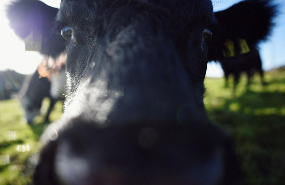 В мире насчитывается более 1080 пород коров