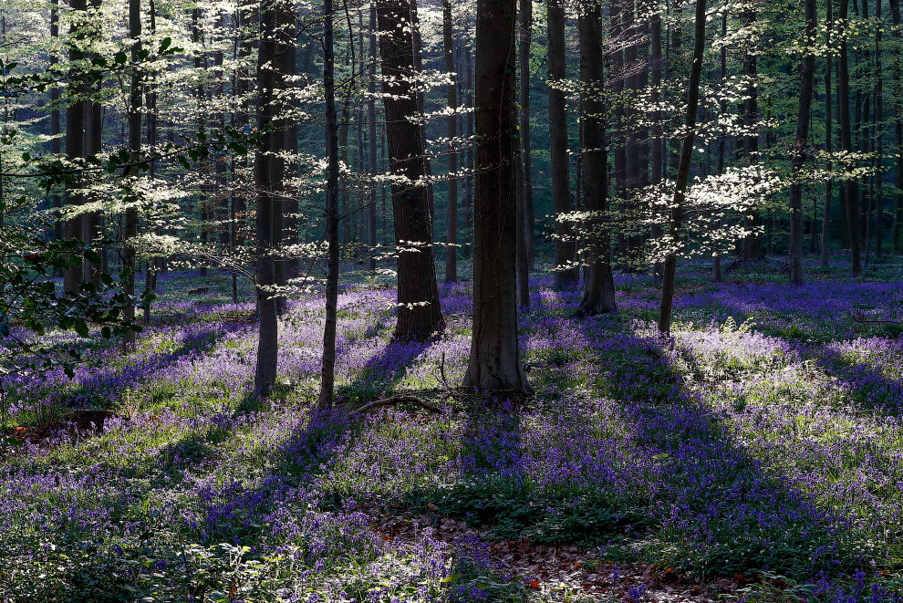 BELGIUM-FOREST/BLUEBELLS