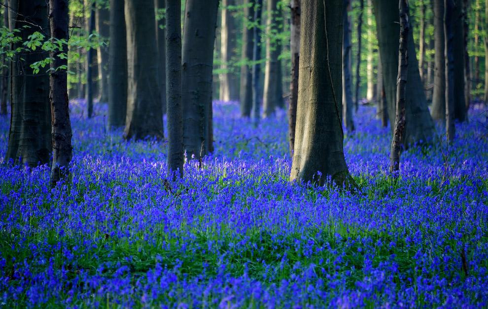 BELGIUM-ENVIRONMENT-SPRING-FLOWERS