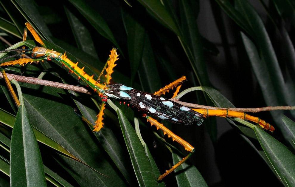 Палочник Achrioptera maroloko