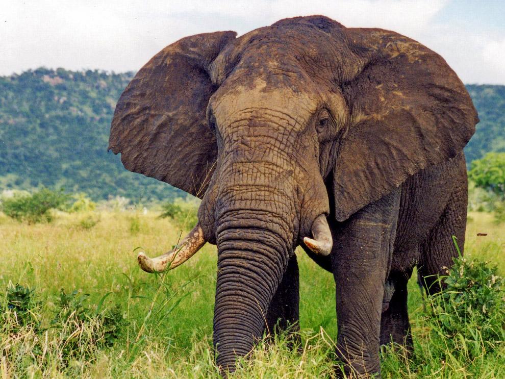 Цікаві факти про слонів