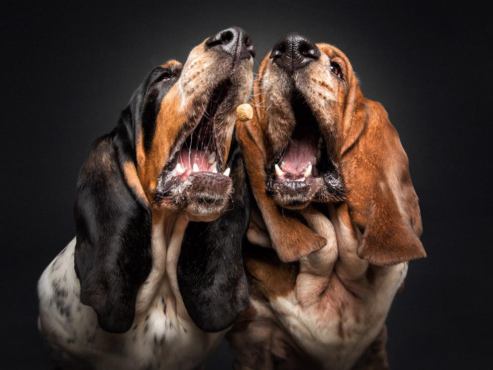 Бассет-хаунды, это порода гончих собак, выведенная в Англии