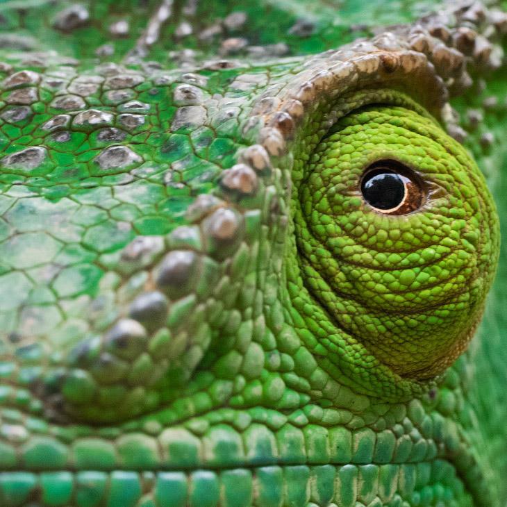 Портрет хамелеона в парке Мантадия, Мадагаскар