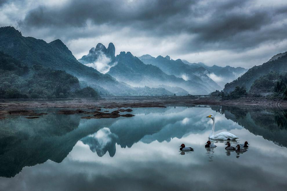 Утки и лебедь на озере в Китае