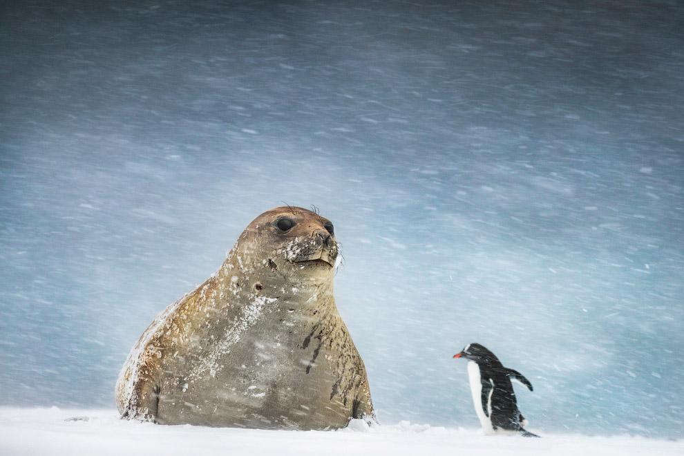 Ось так зустріч.  Морський слон і пінгвін