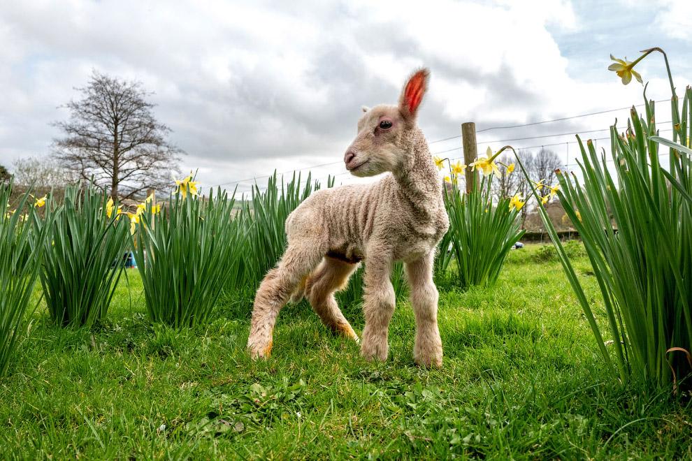 Ягненку всего день, он уже оценил прелести весны, Англия