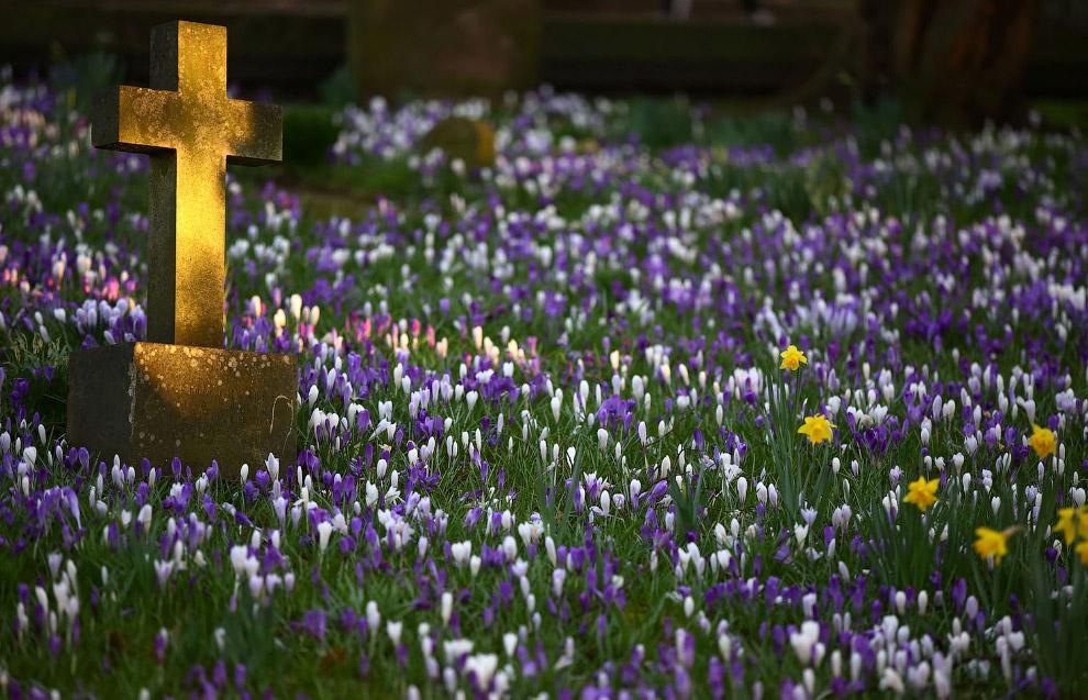 Весенние цветы зацветают на кладбище в Натсфорде, Англия