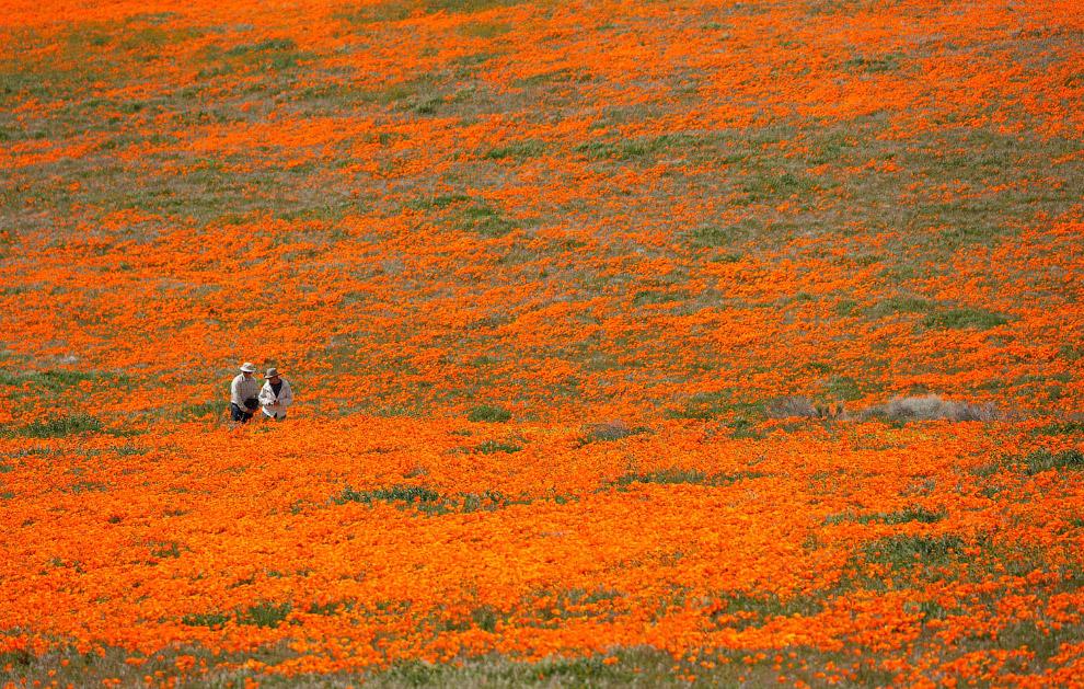 Оранжевые маки прекрасны