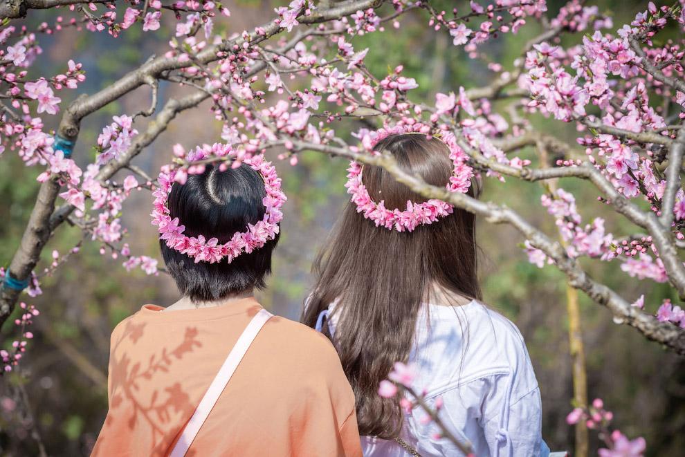 Цветущие персиковые деревья в провинции Сычуань, Китай