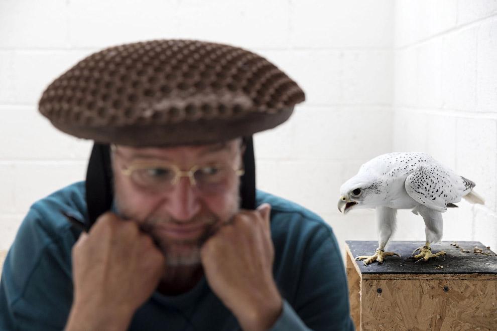 Заводчик соколов Говард Уоллер в специальной шляпе для заманивания птиц в Элгине, Шотландия
