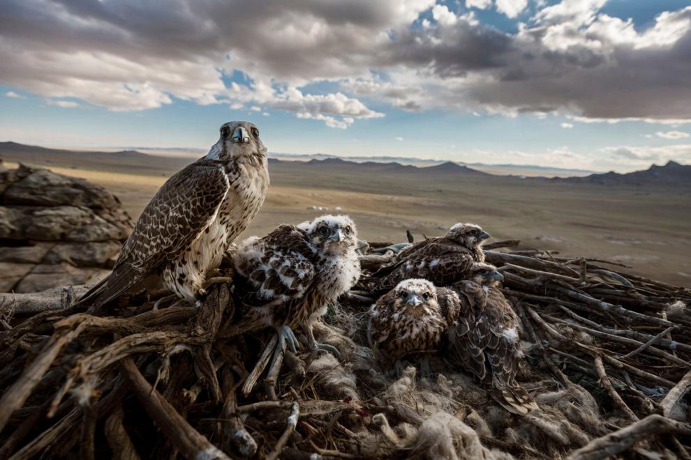 Балобаны со своими птенцами над степью Центральной Монголии