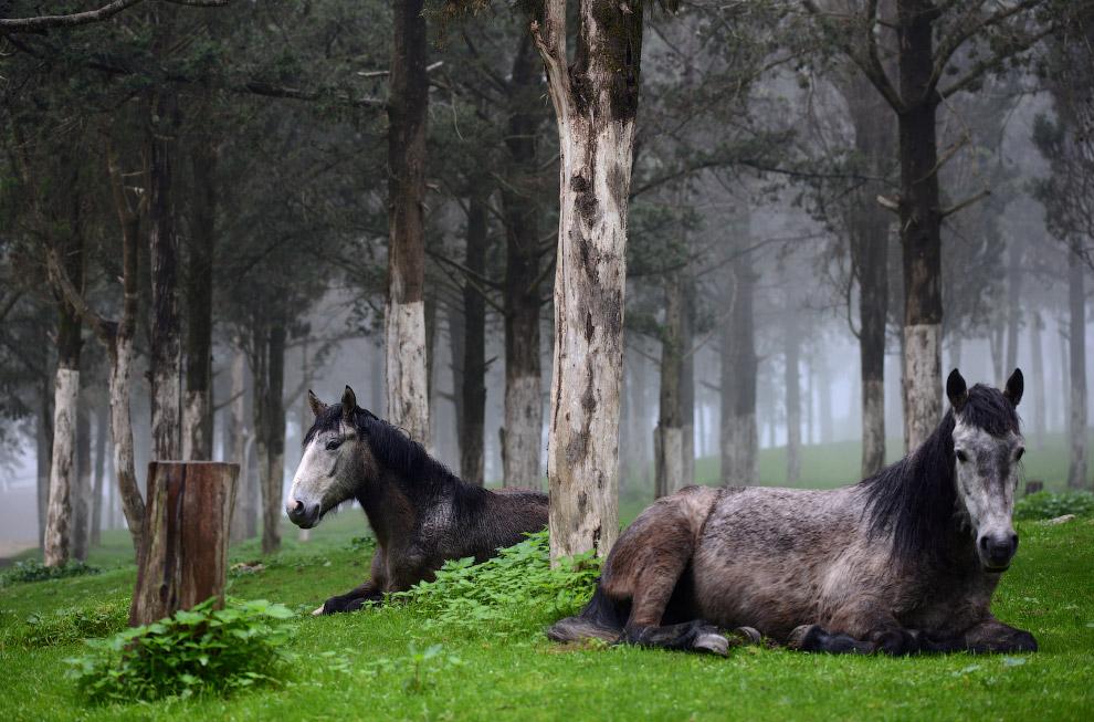Лошади отдыхают в лесу в Шаххате, Ливия