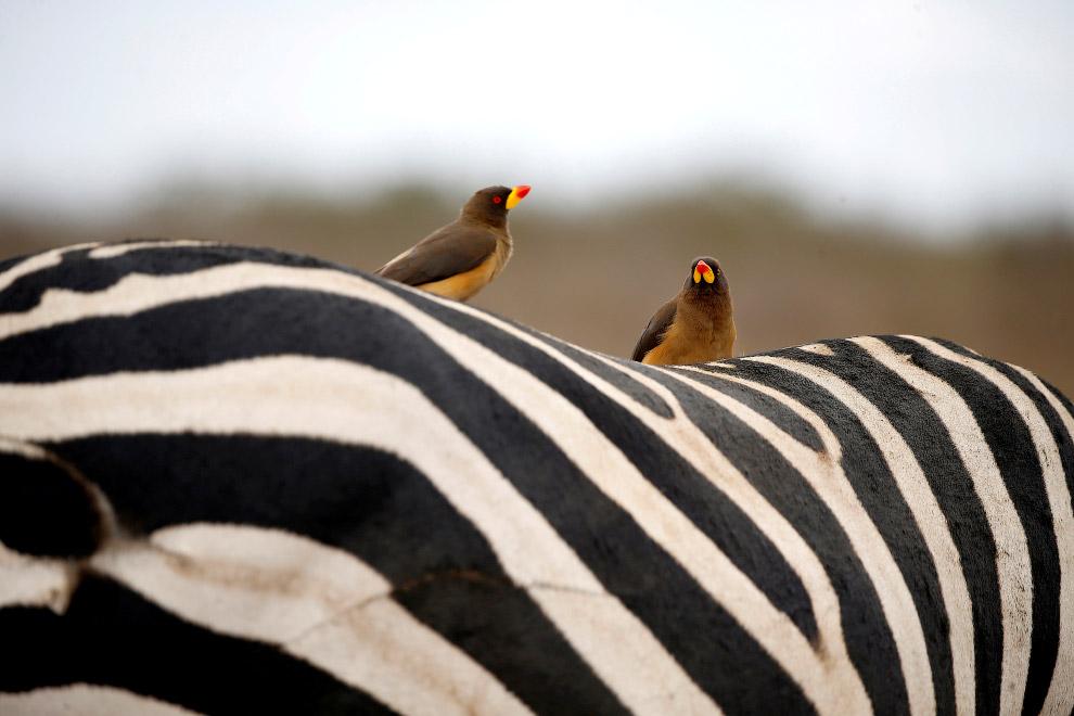 Птицы на спине зебры Найроби, Кения