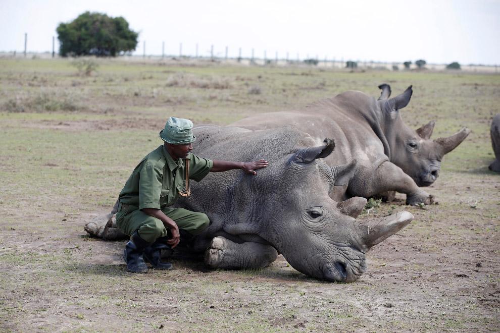 Носороги в национальном парке Лайкипия, Кения
