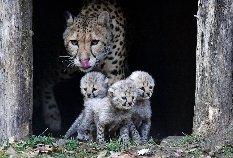 Семья гепардов в зоопарке в Мюнстере, Германия