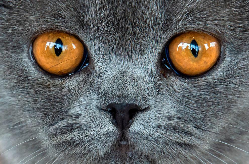 Британская короткошерстная кошка на выставке