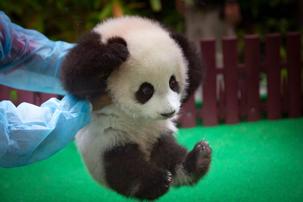 Маленькая панда в зоопарке в Куала-Лумпуре, Малайзия