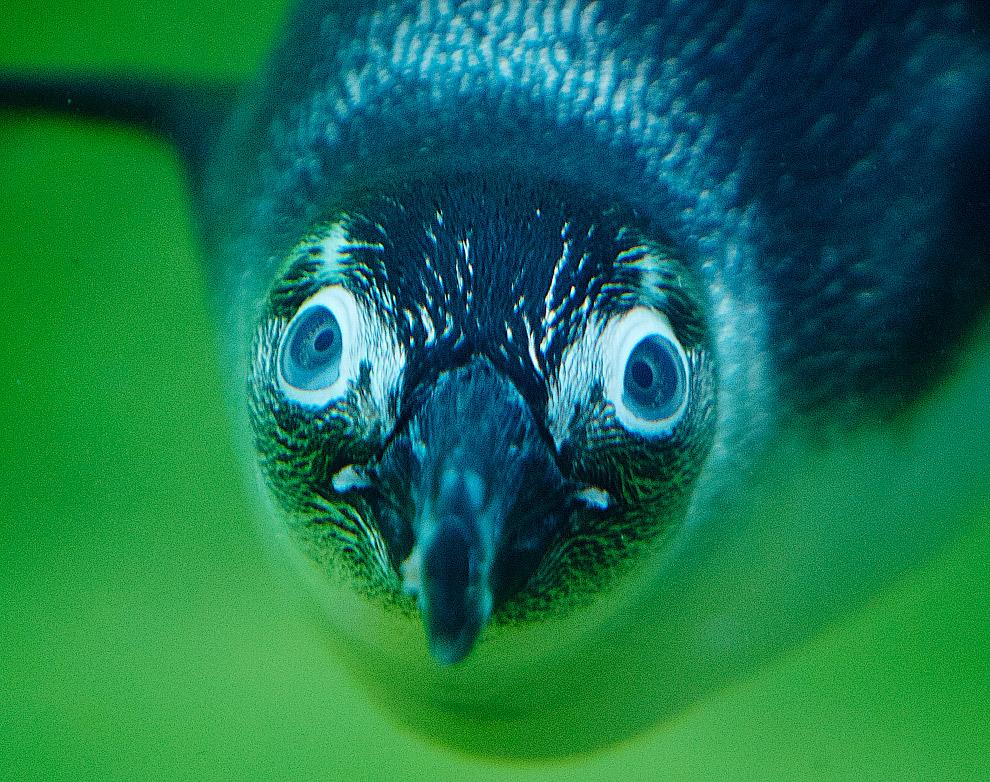 Пингвин под водой выглядит потешно