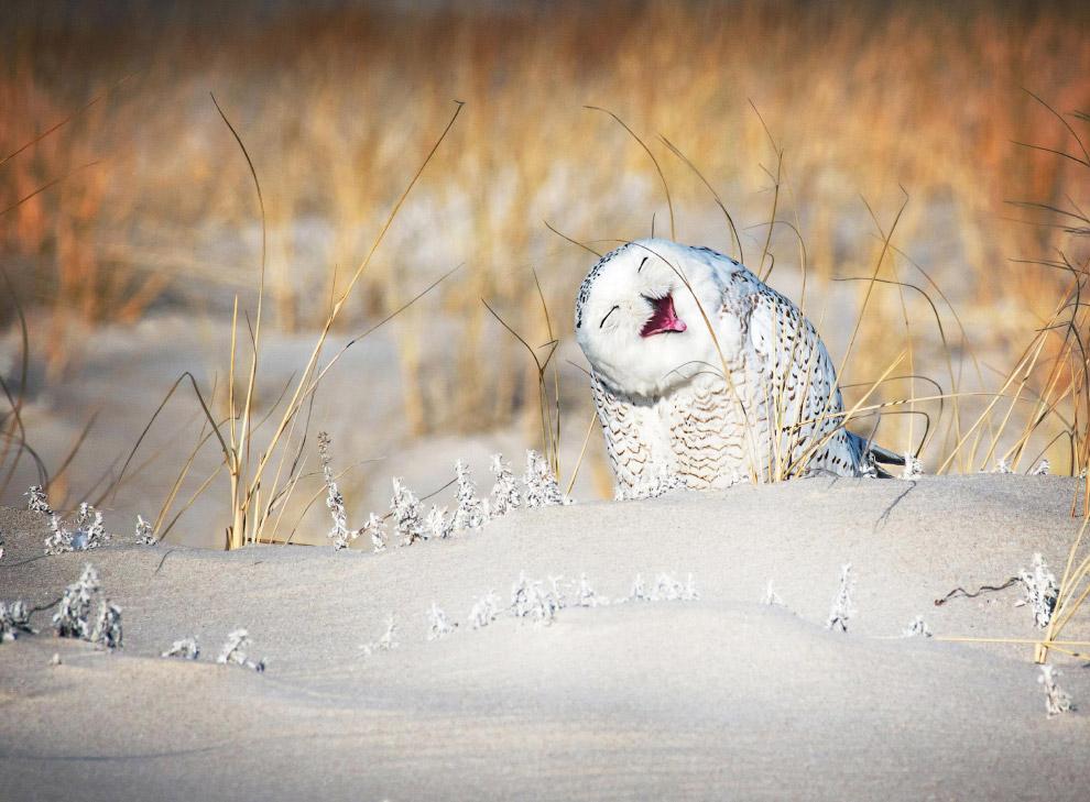сміхотлива сова