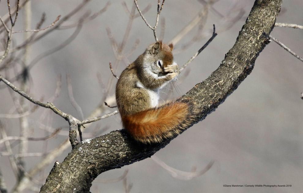 сором'язлива білка