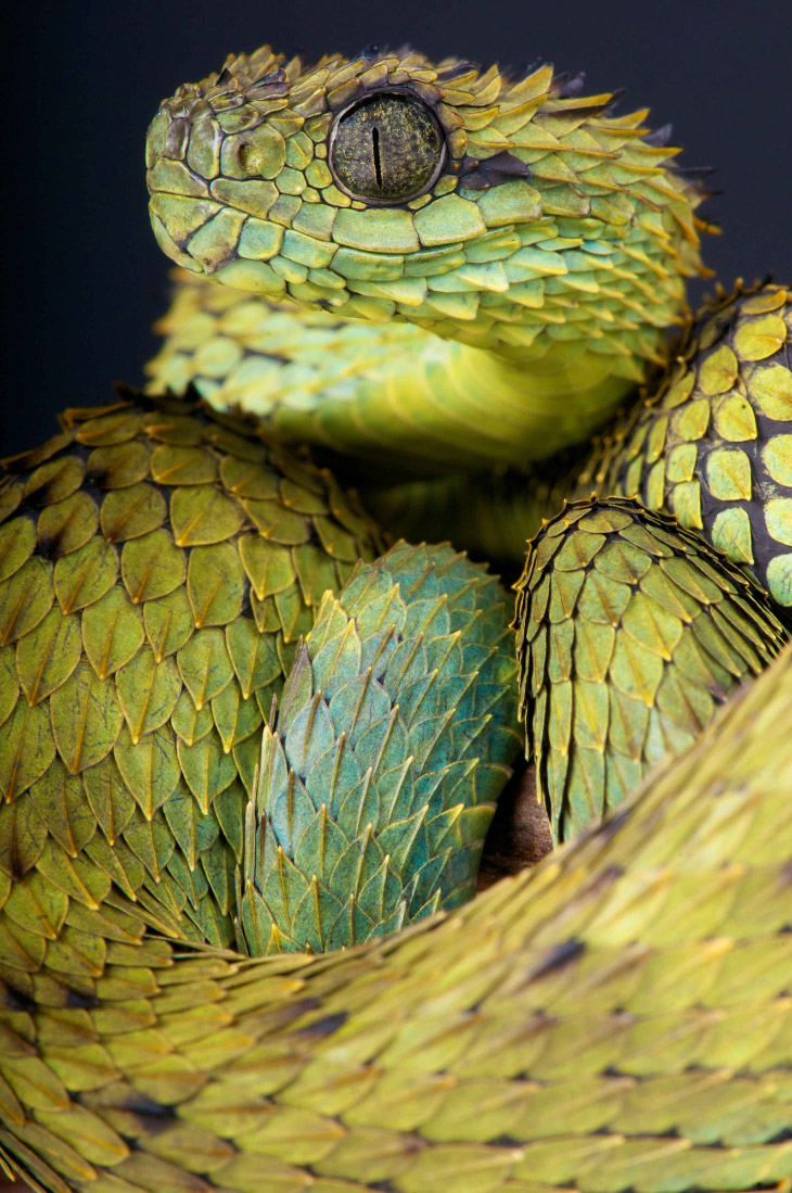 Колючая кустарниковая гадюка (лат. Atheris hispida)