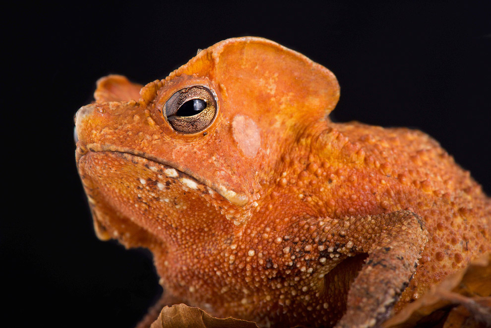 Красивая жаба Rhinella lescurei